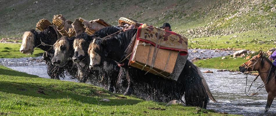 Mongolian nomads transporting yurt by yak